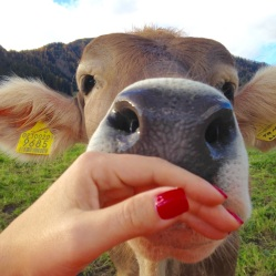 Friendly cow, Alpe di Siusi